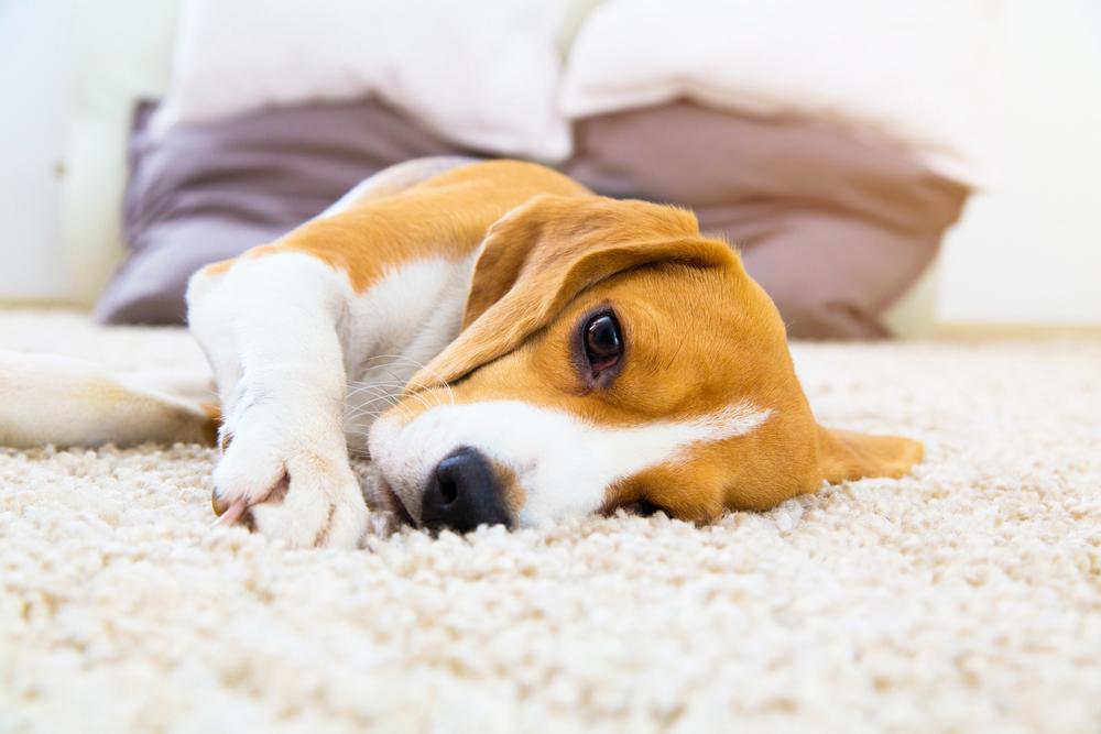 Pet Friendly Carpet Flagstaff