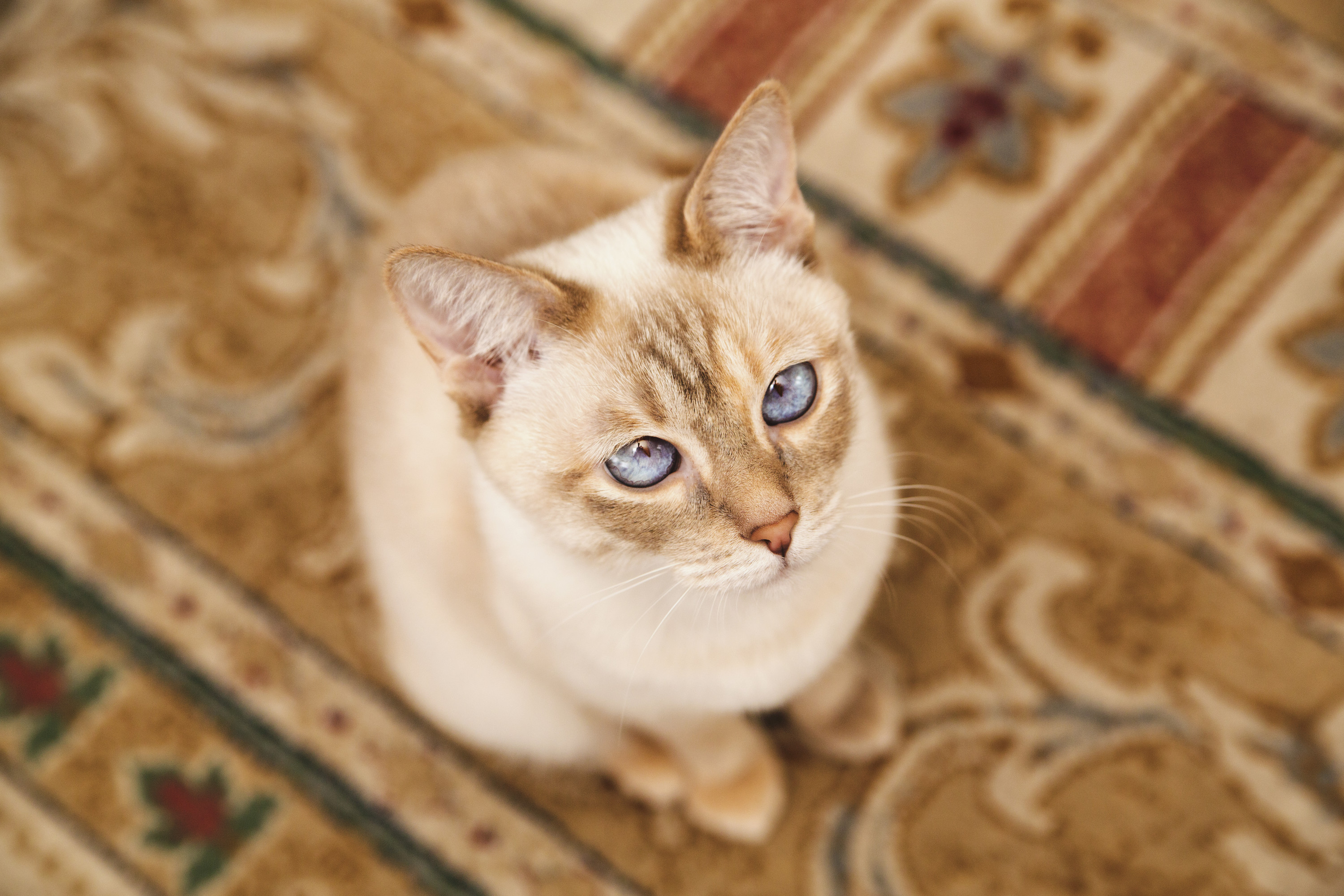 Cat sitting on a carpet in Concord, CA